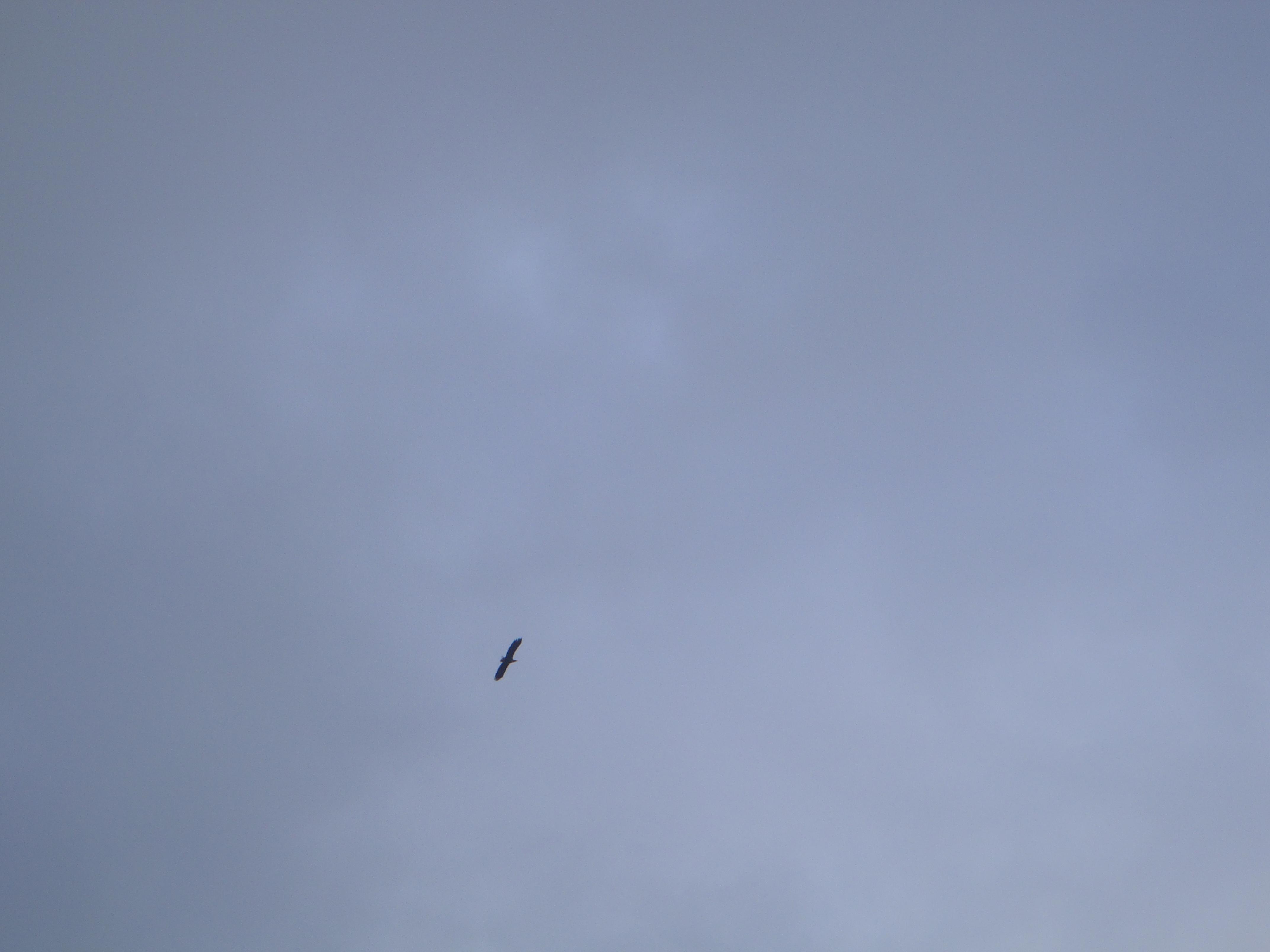 See - a sea eagle